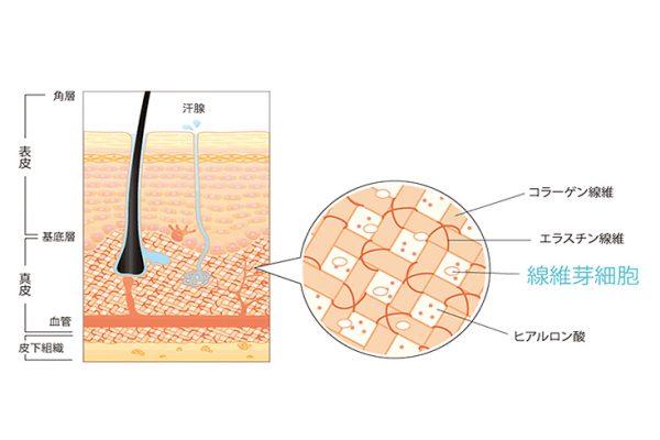 線維芽細胞とは